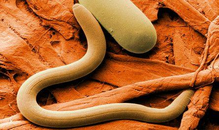 ¿Qué son los nematodos?